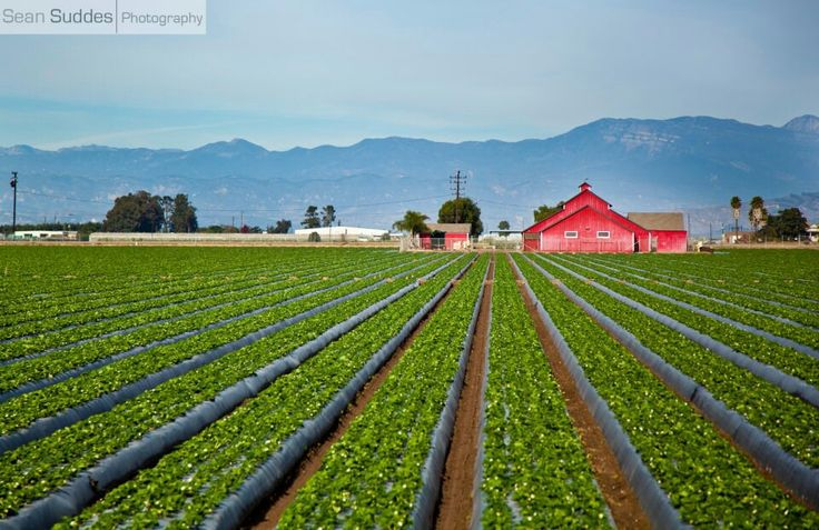 Acres and acres of strawberries and citrus in Oxnard, California