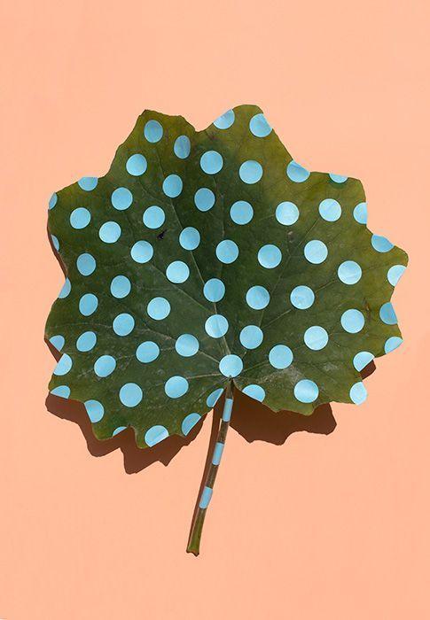 Polka dot Wonderplant