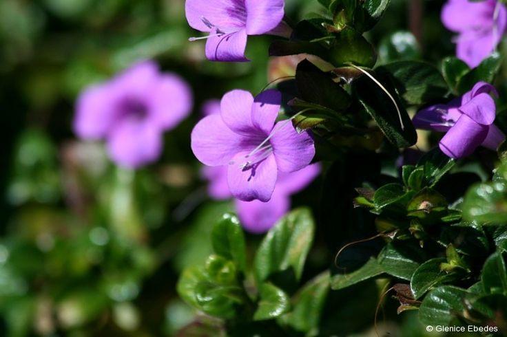 Barleria repens (Small Bush Violet)