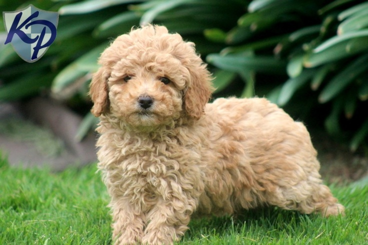 Poodle – Mini Puppies for Sale in PA | Keystone Puppies: Poodle ...
