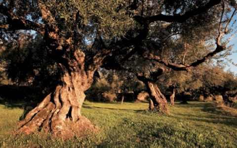 Breathtaking scenery with very old olive trees, in Messinia Peloponisos (Greece) a land quite known for its olive oil production. One of the best Olive oils worldwide. #travel #Greece #oliveoil #olivegroves #olivetree #placetobe