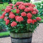 Product Information: Light: Full sun to partial shade Height: 3-5' Bloom Time: Late summer Size: Potted Zones: 5 to 9