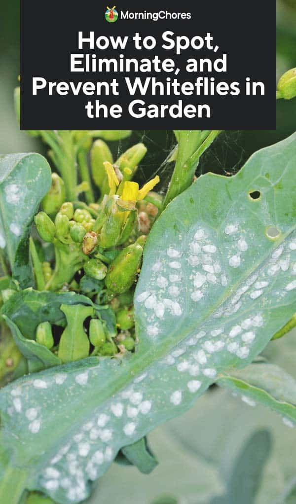 How To Get Rid Of Little Whiteflies On Plants
