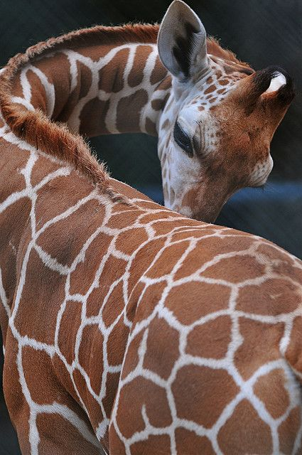 Giraffa camelopardalis. There are 9 subspecies of giraffe, all distinguishable by their coat patterns.
