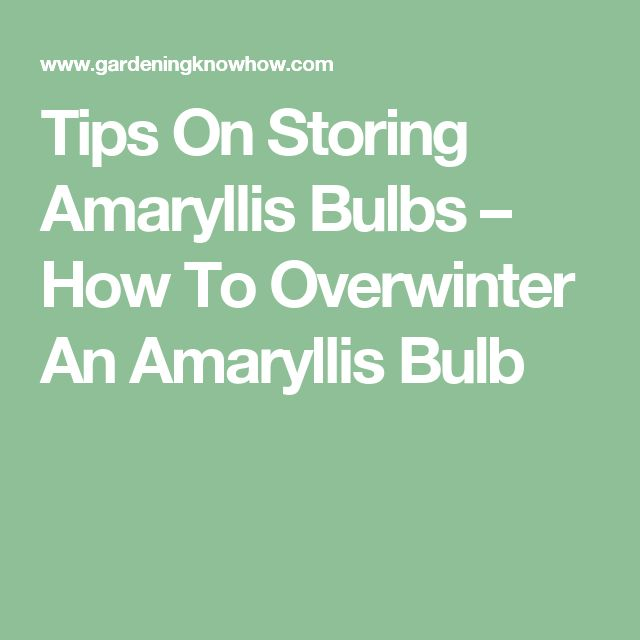 how to keep amaryllis bulbs