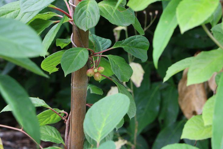 Schisandra chinensis - Wu Wei Zi - Beere