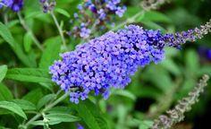 Sommerflieder richtig schneiden - Der Sommerflieder ist einer der prächtigsten Blütensträucher im sommerlichen Garten. Hier lesen Sie, wie Sie den Sommerflieder schneiden müssen, um seine Blütenfülle zu steigern.