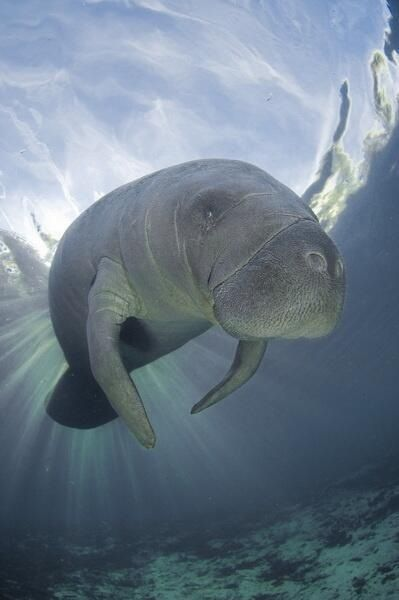 125 best images about Manatees & piglet on Pinterest ...