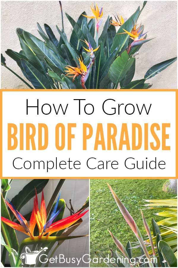 Bird Of Paradise Plant Care Growing Guide In 2020 Birds Of Paradise Plant Paradise Plant Plant Care