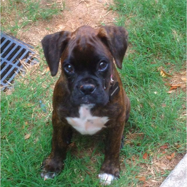 Our Boxer puppy 'Hemingway'