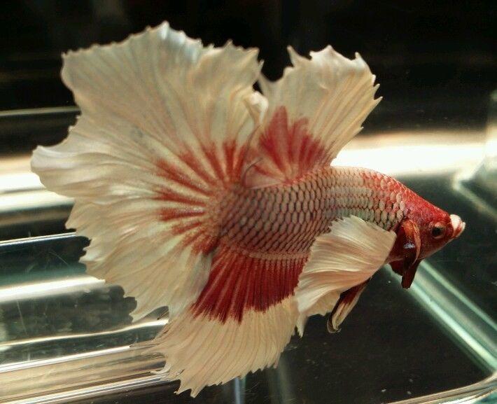 US $39.00 in Pet Supplies, Fish & Aquariums, Live Fish