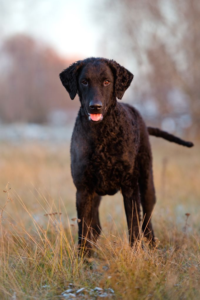 Curly Coated Retriever Dogs And Puppies