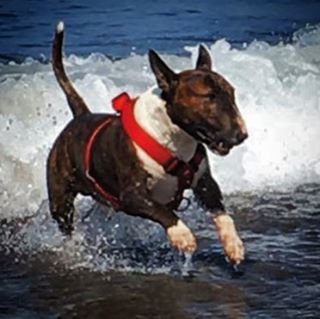 """""""Cuanto más conozco a las personas mas quiero a mi perro"""" 😂 (El cabroncete vive mejor que yo... Que ganas de achucharlo!) #doglife #englishbullterrier #bullterrier #mydog #cute #bull #spain #salinas #montereylocals #salinaslocals- posted by Sergio Inestal ⚓ https://www.instagram.com/sergioinestal - See more of Salinas, CA at http://salinaslocals.com"""