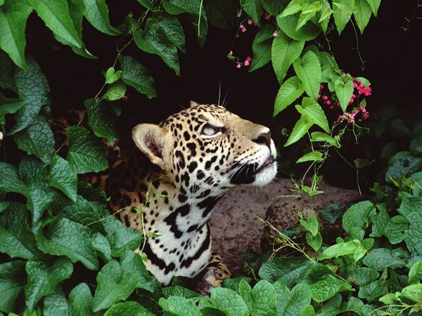 National Geographic is a good source for photos of rain forest plants, animals, and insects.  This picture of a jaguar was taken in Brazil.  http://environment.nationalgeographic.com/environment/habitats/rainforest-map/