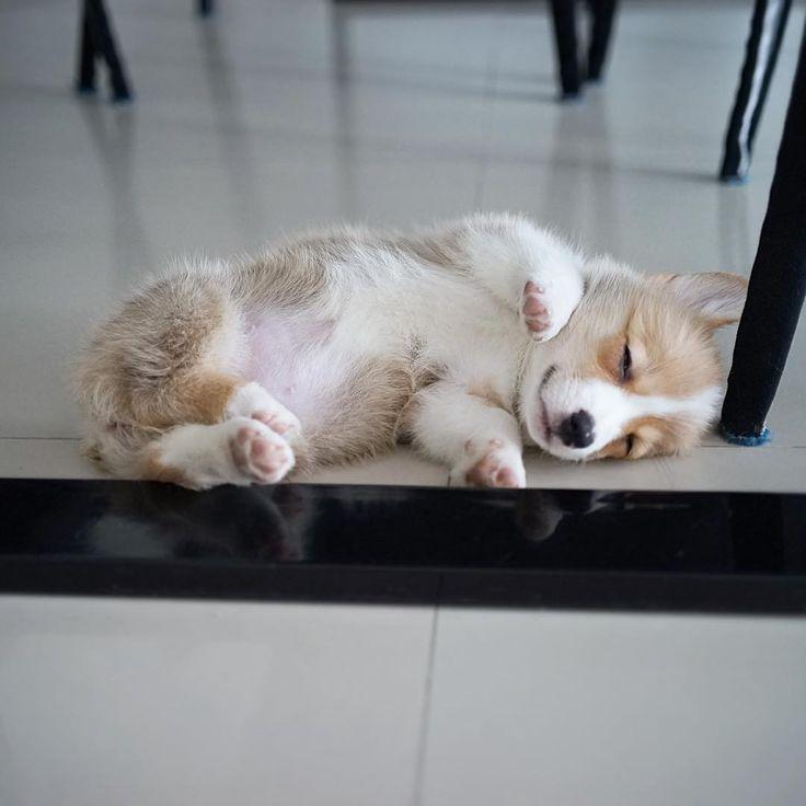 Corgi Overload (Sleeping puppy)