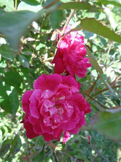 Rosa 'Bella di Monza' -  Foto-diario di una giardiniera curiosa