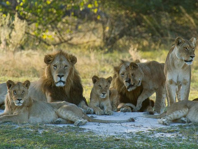 In a pride (group) of lions, what is the primary job of the Male lions?