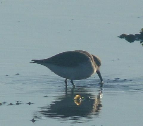 The dunlin: a small bird in a big flock | Peter Orchard
