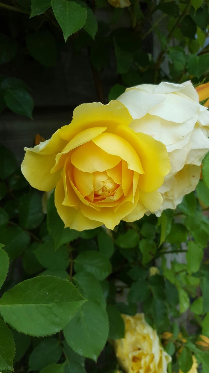 273 best rosa amarilla images on pinterest flowers beautiful belles images floral wallpapers beautiful roses pretty flowers ladybugs jesus vegetables floral design yellow dhlflorist Image collections