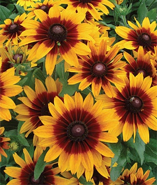 """Rudbeckia, Hot Chocolate.  Eye-catching, ravishing color. Drink in the colors: delicious, delectable, irresistible. This large, ravishing flower has bicolor petals that are dark mahogany red at their base, tipped with yellow. Flowers 3"""" across, bloom profusely on tall plants, creating a floating chocolate-toned eye-catching color. Yummy! Very heat tolerant.  Love these, I grow lots of Rudbeckia's in my garden...love all of them!!"""
