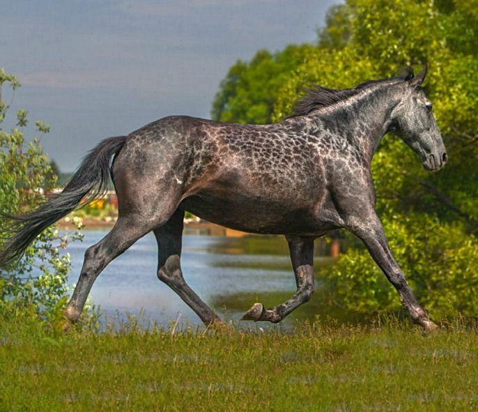 Karachai mare with the reverse dappling pattern often called cobwebbing, or giraffe marks. photo: Eugene Matuzov.