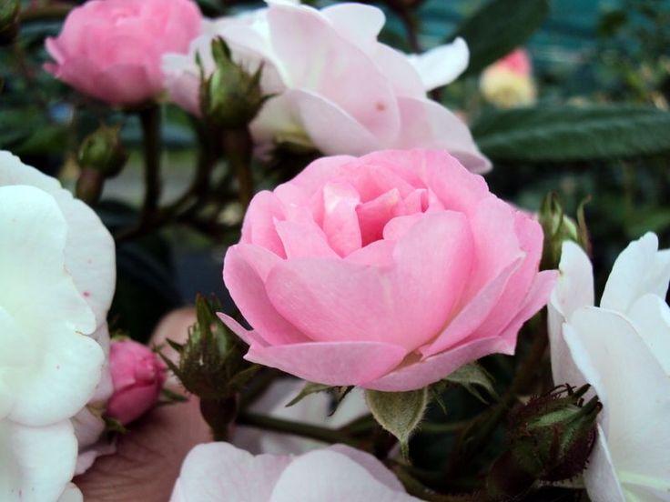 Ramblerrose Perennial Blush ® Züchter EUROSA/Rosen Tantau 2009