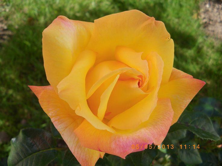 La combinación perfecta para tu jardín son las Rosas inglesas