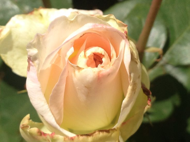 A slightly burnt blooming, white rose