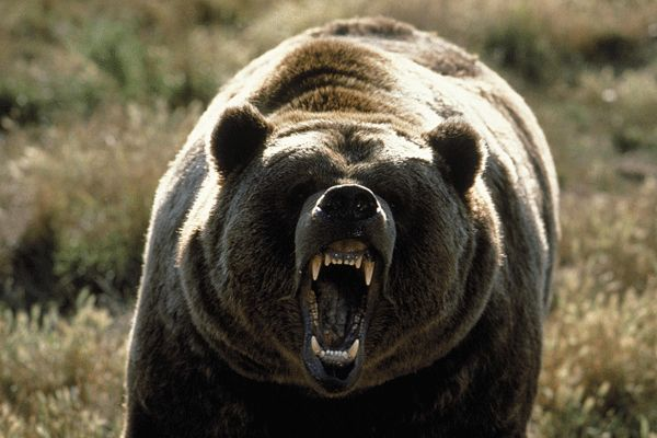 Grizzly bear attacks Alaska biologist twice; biologist not upset at bear - As it should be.
