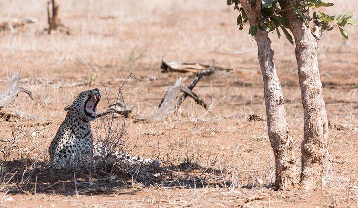 kruger-leopard-and-porcupine-sighting2-john-coe-1