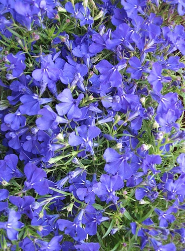 Lobelia a true blue flower annual thrives zones 2 11 for Low growing plants for flower beds
