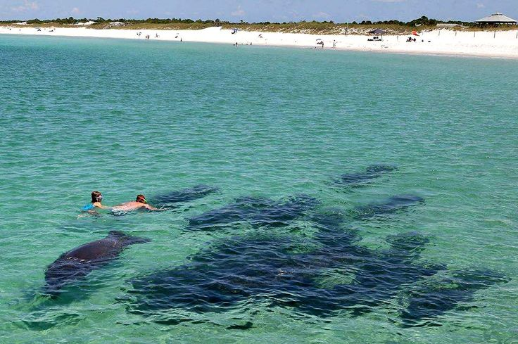 Swimming with manatees at St. Andrews State Park, courtesy of Sea Side Villas condos