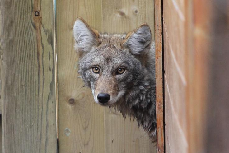 Backyard visitor - coyote