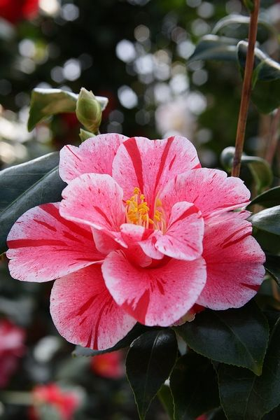 Roses In Garden: 166 Best Images About Camellia Flowers... On Pinterest