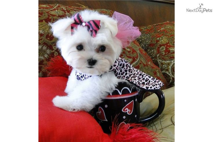 Maltese puppy for sale near Dallas / Fort Worth, Texas