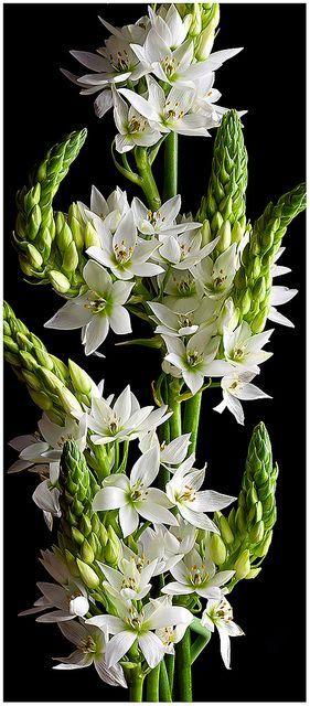 flowersgardenlove:  ✯ Star of Bethlehem Flowers Garden Love