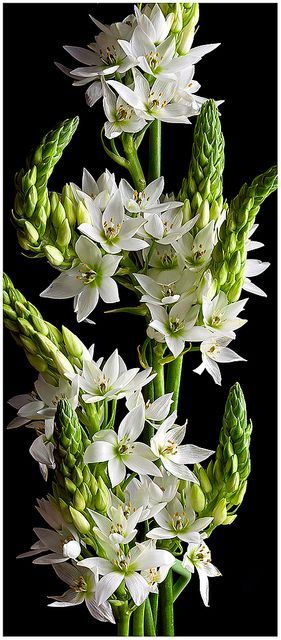 "flowersgardenlove: ""Star of Bethlehem (O Beautiful gorgeous pretty flowers """