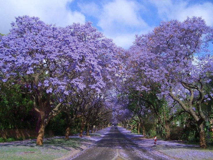Tunnel of Jacarandas in South Africa