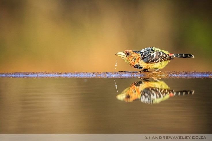 Crested Barbet by Andrew Aveley