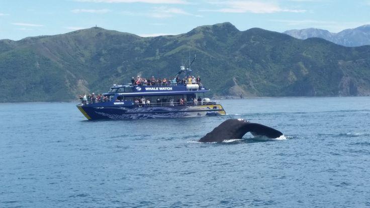 Tail time #spermwhale #kaikoura