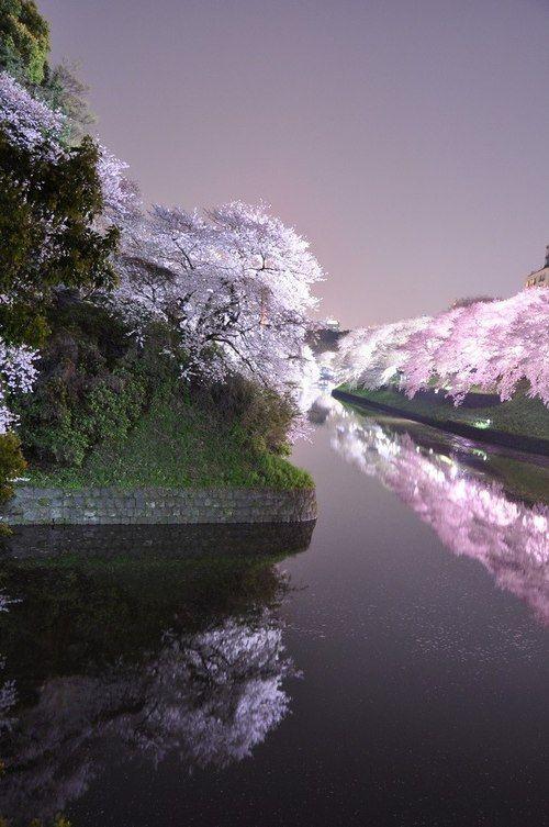 ✯ Night cherry tree in full bloom, Japan