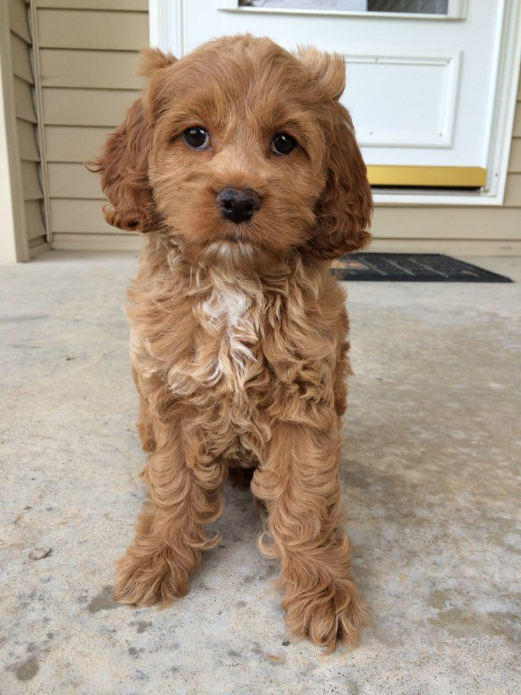 Red Cockapoo puppy. 8 weeks old! #puppy #cockapoo #dog #red #cockerspaniel…