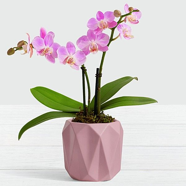 Valentine S Day Mini Orchid Best Flower Delivery Orchids Flower Delivery Service