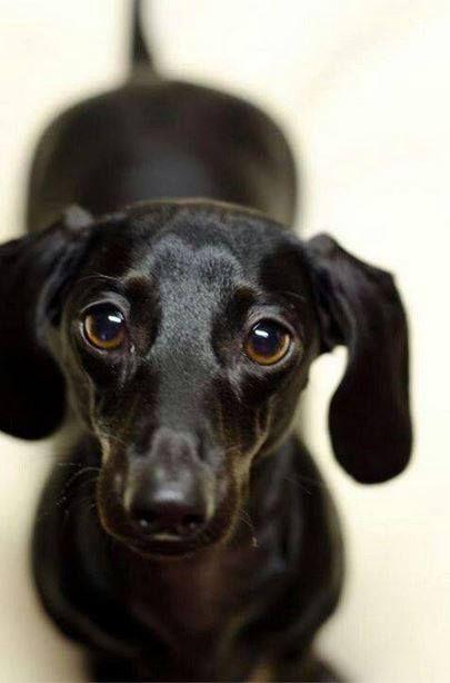 Black Dachshund - Looks like my Lola.