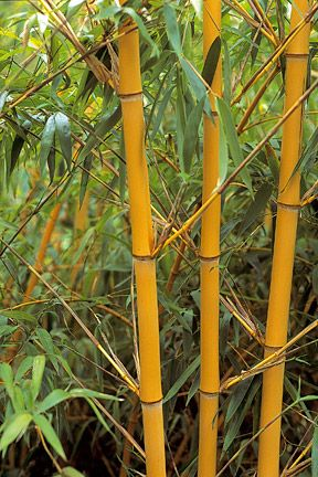 bamboo looks lovely in all seasons in the garden and makes a nice rustling sound in the breeze. However it is a good idea to contain it with a minimum 60cm depth plastic barrier sunk into the ground around the roots.