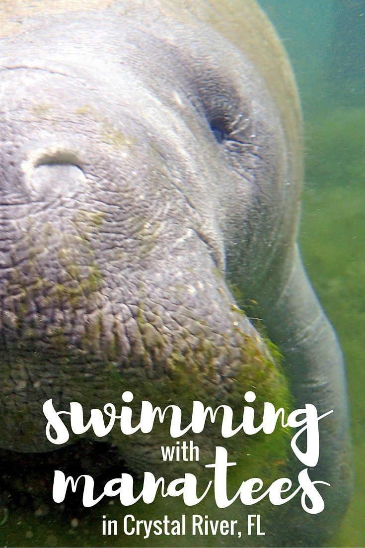Swimming with manatees in Crystal River, Florida                                                                                                                                                                                 More