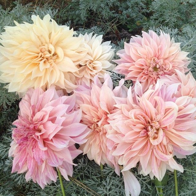the many varied shades of cafe au lait dahlias More