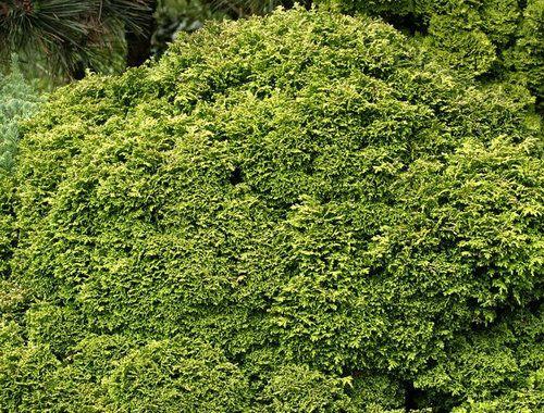 Chamaecyparis pisifera ' Tsukumo ' Miniature Sawara Cypress
