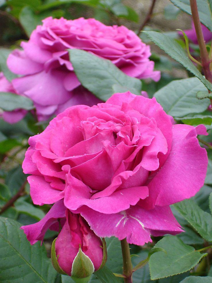 'Antoine Ducher' | Hybrid Perpetual rose