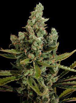 Reglas para el cultivo de #semillas feminizadas. #Cultivo #Marihuana #Cannabis #Reglas #Trucos #Consejos
